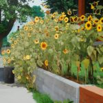 Dai Morgan  b>Sunflowers </b> Acrylic Painting,  18 x 24